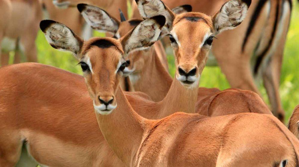 La réserve de Selous avec des impalas à découvrir lors de votre voyage en Tanzanie