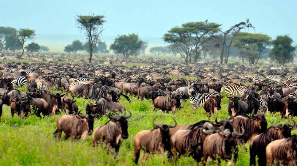 Migration de gnous dans le Serengeti