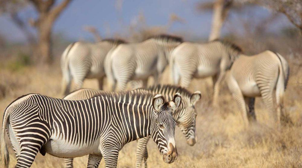 Paysage avec des zèbres au Kenya