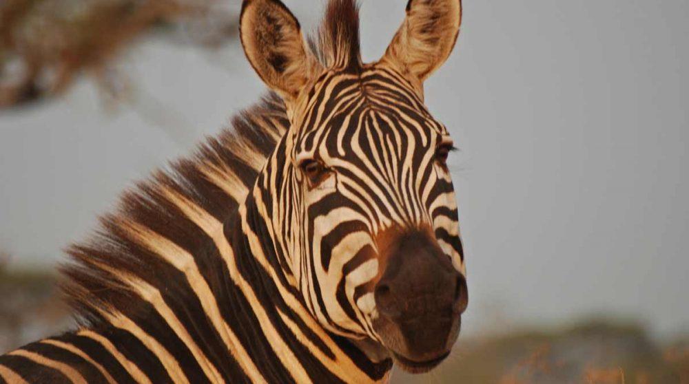 Un zèbre dans le Tarangire à voir lors de votre circuit en Tanzanie