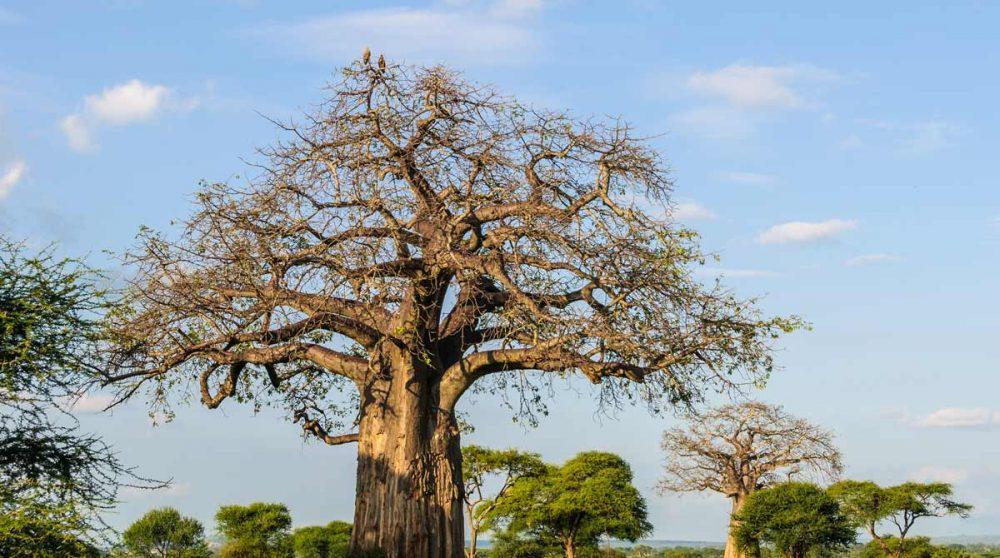 Un baobab dans le Tarangire en Tanzanie