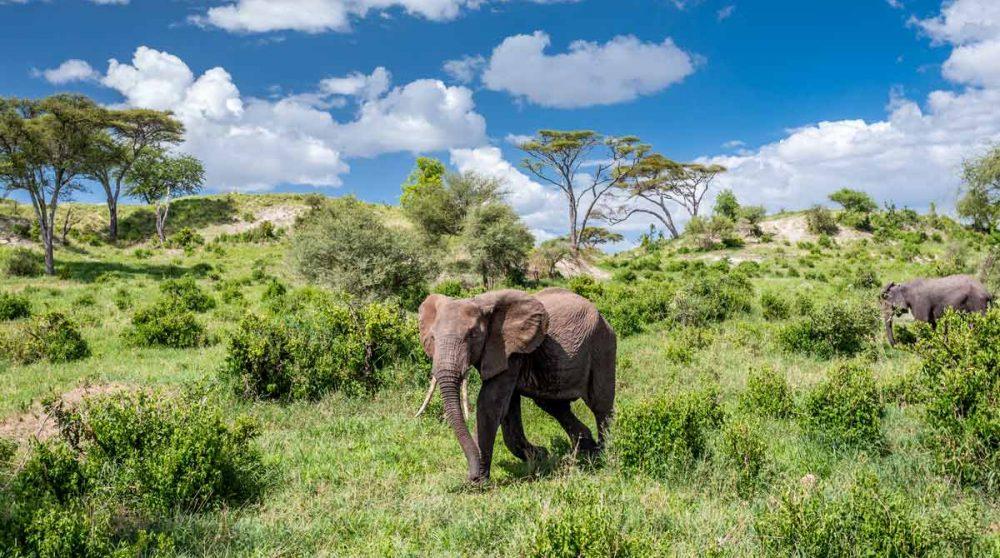 Un éléphant dans le parc du Tarangire en Tanzanie