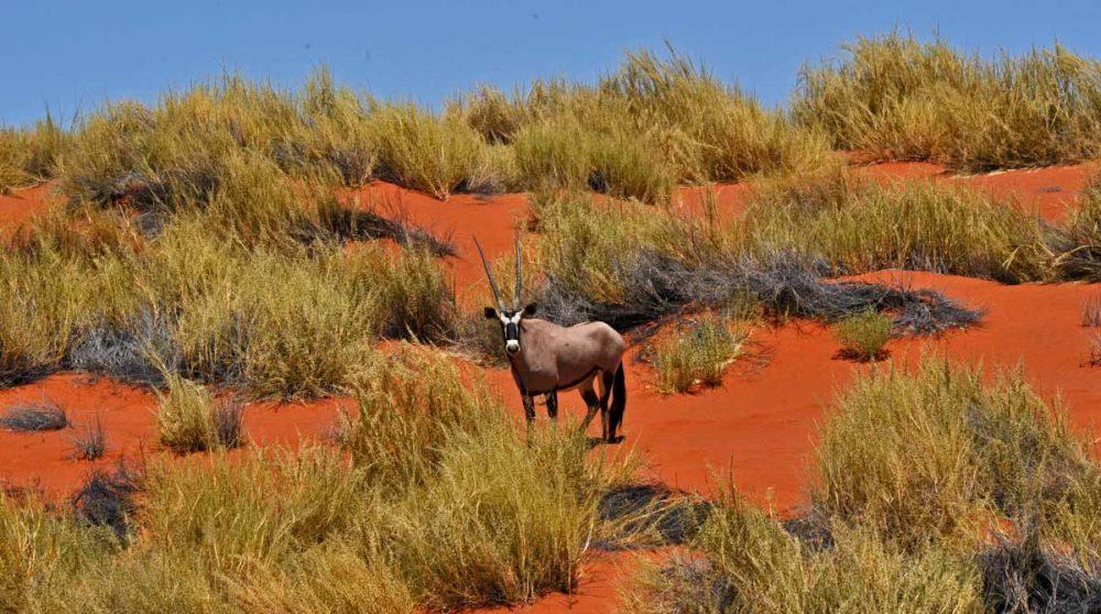 Wolwedans en Namibie