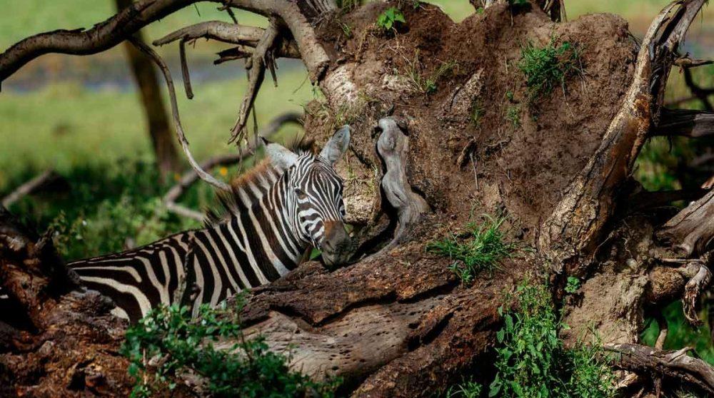 Un zèbre dans le Masai Mara au Kenya