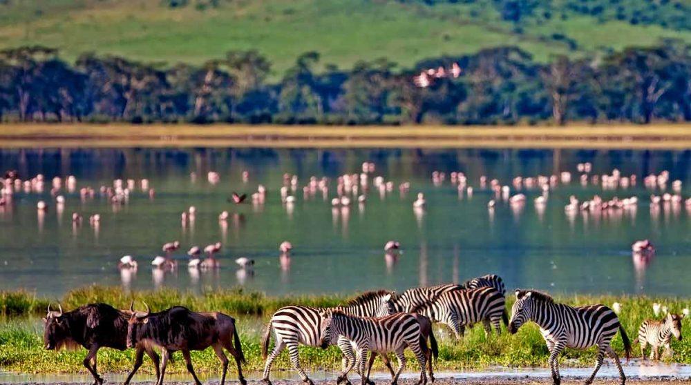 Des zèbres et des gnous au cratère du Ngorongoro