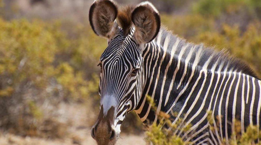 Des zèbres de Grevy dans la réserve de Samburu