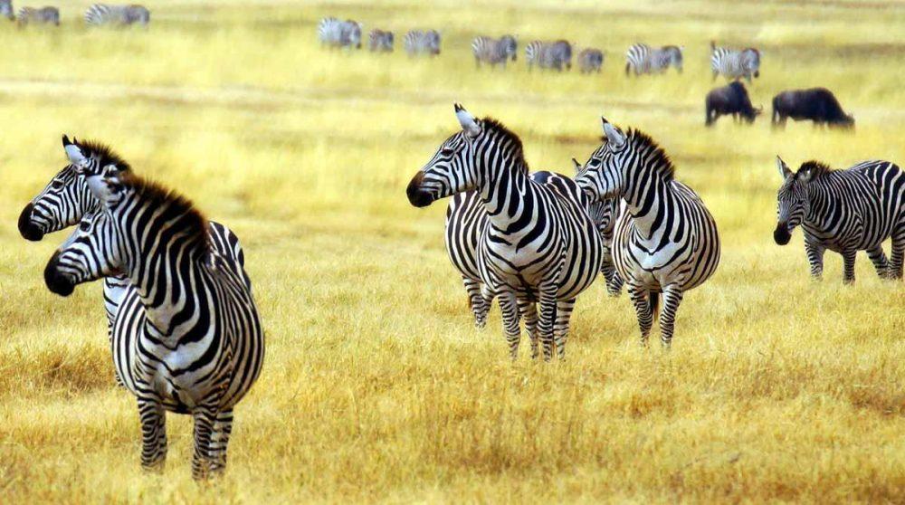 Vous verrez des zèbres dans le Masai Mara