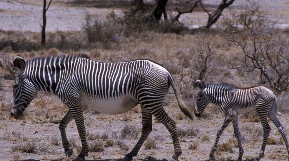 Des zèbres dans la réserve de Shaba